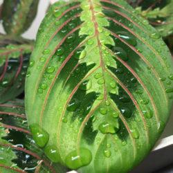 maranta leaf providing water for chameleon
