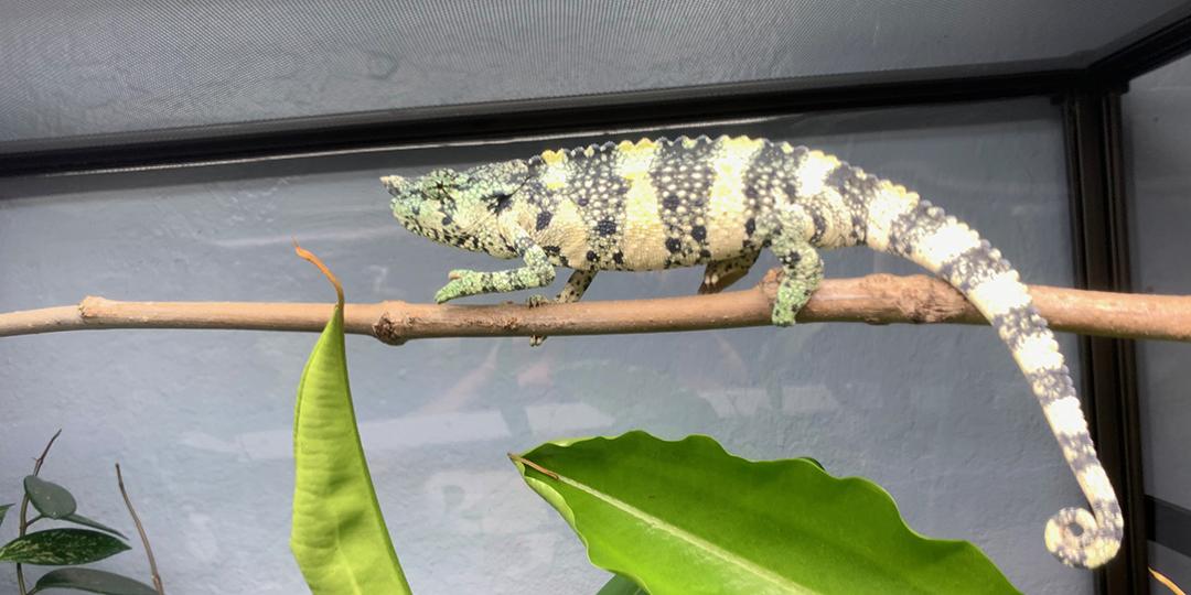 mellers chameleon on a basking branch