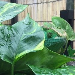 Parson's Chameleon Hiding