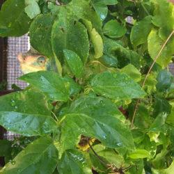 Parson's Chameleon male hiding