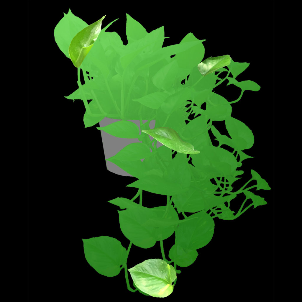 trailing plant for chameleon cage