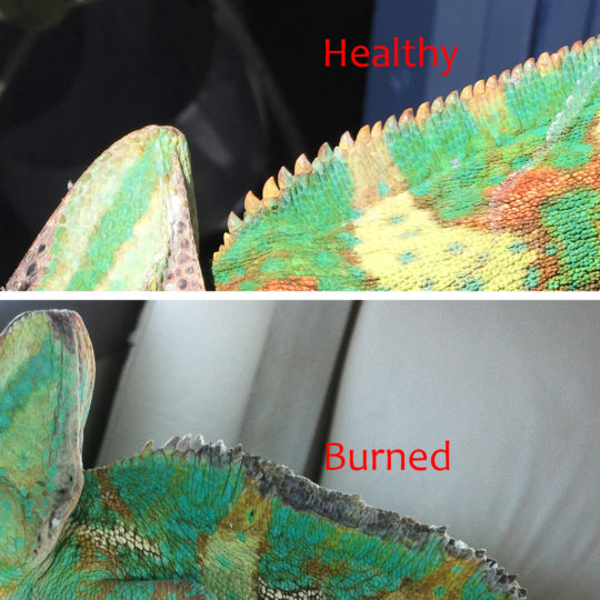 Veiled Chameleon Burn comparison