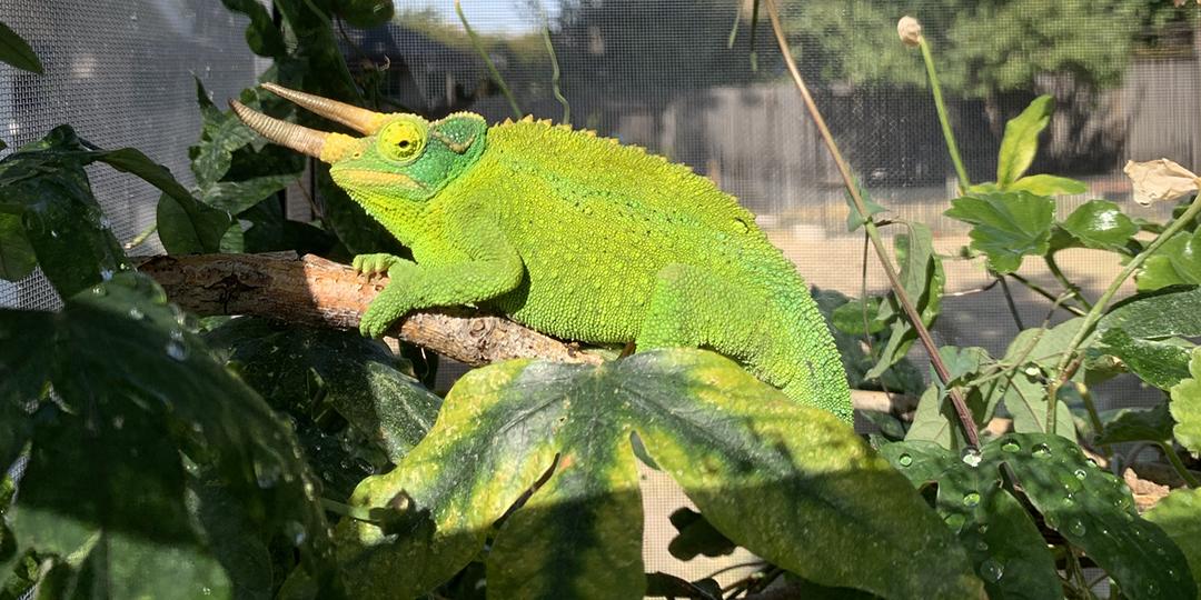 A Content Jackson's Chameleon