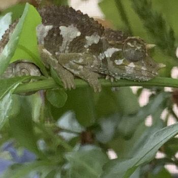 day sleeping chameleon