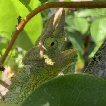 heat gaping jacksons chameleon