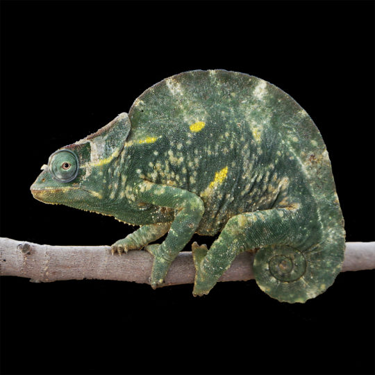 Deremensis chameleon with fungal infection profile