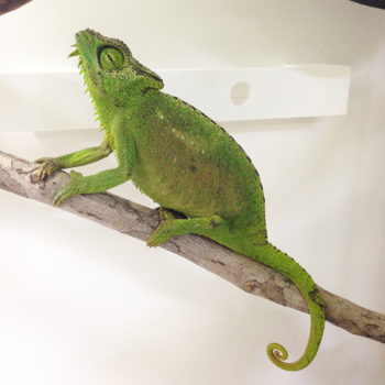 chameleon with its nose in the air