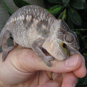 a panther chameleon going to bite