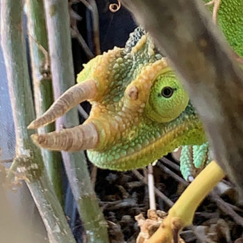 Jackson's Chameleon with broken horn