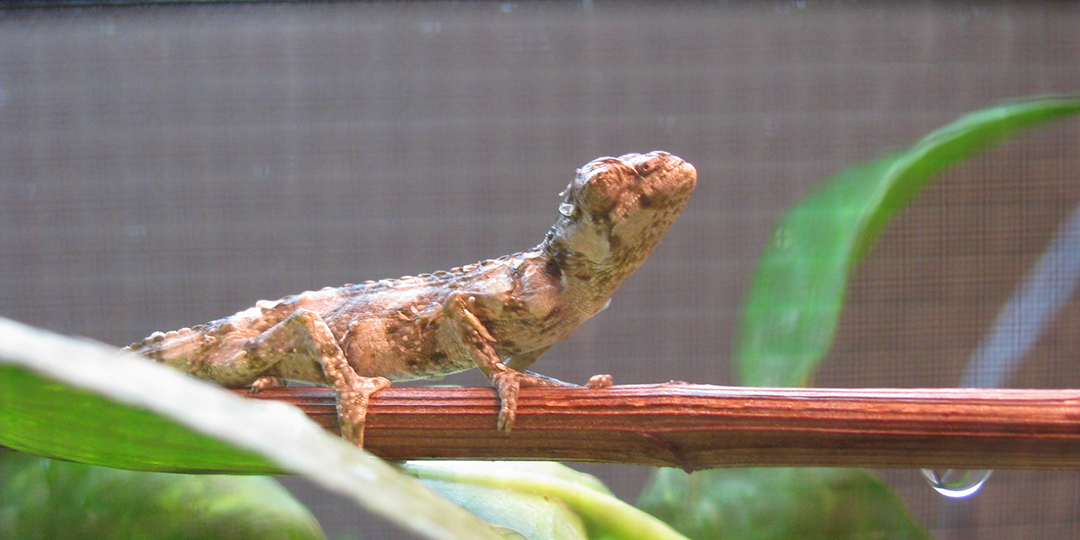 meller's chameleon with respiratory infection