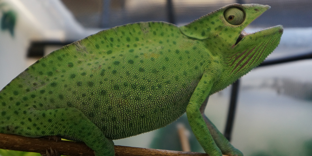deremensis chameleon with respiratory condition