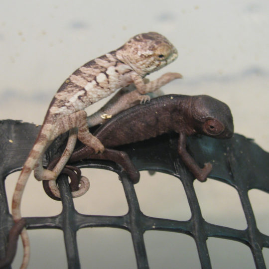 baby Panther Chameleon being bullied