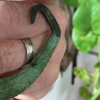 Tsil damage in jackson's chameleon