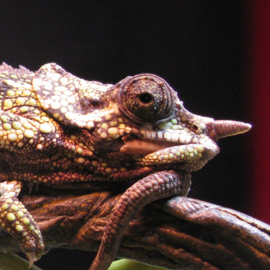 female Trioceros wernerii chameleon with broken jaw