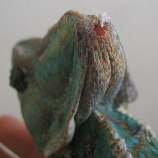 open wound casque burn on veiled chameleon