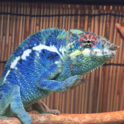 chameleon in defensive position