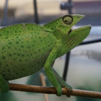 Trioceros deremensis chameleon with respiratory infection