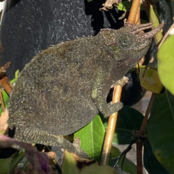 Chameleon with dark colors