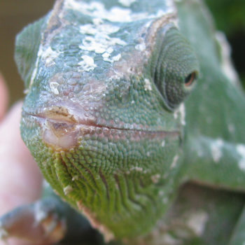 female deremensis chameleon nose rub