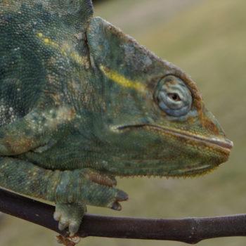 deremensis with sunken eye 121