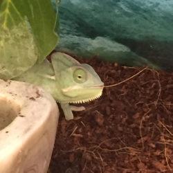 chameleon eating dirt