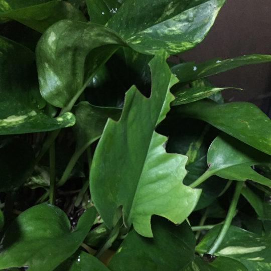 leaves eaten by a chameleon