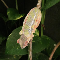 panther chameleon edema