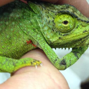 mites on a chameleon