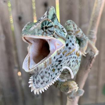 veiled chameleon warning gaping