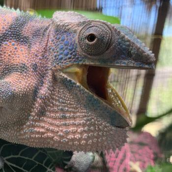 chameleon gaping