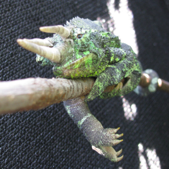 Jackson's Chameleon with gout