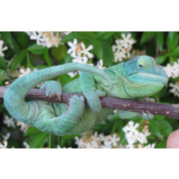 Female Jackson's Chameleon with gout