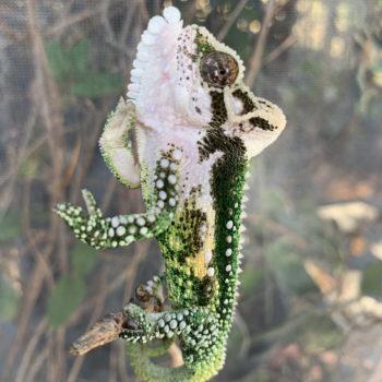 thamnobates chameleon hind legs and gular