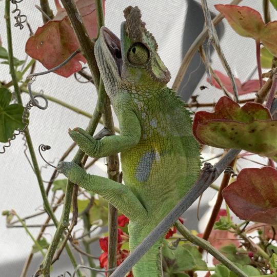 Chameleon in heat stress