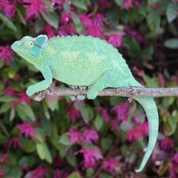 jacksons chameleon female