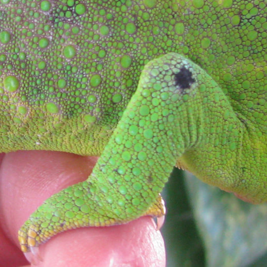 knee rub on a chameleon