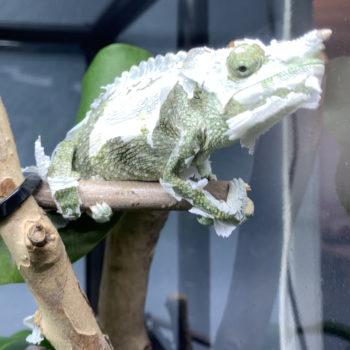 Meller's Chameleon starting a shed