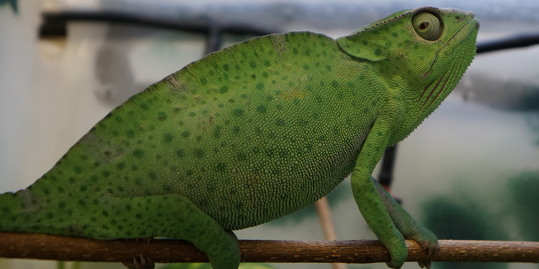 deremensis chameleon with respiratory infection