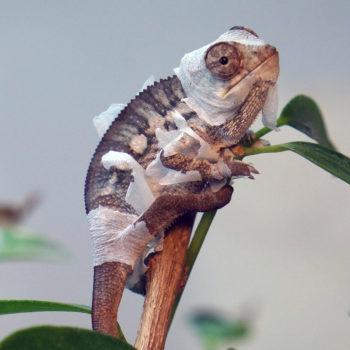 Shedding juvenile panther chameleon