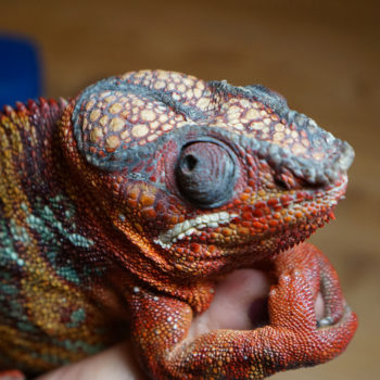 prominent fat pads in panther chameleon