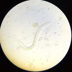 chameleon parasitic worm