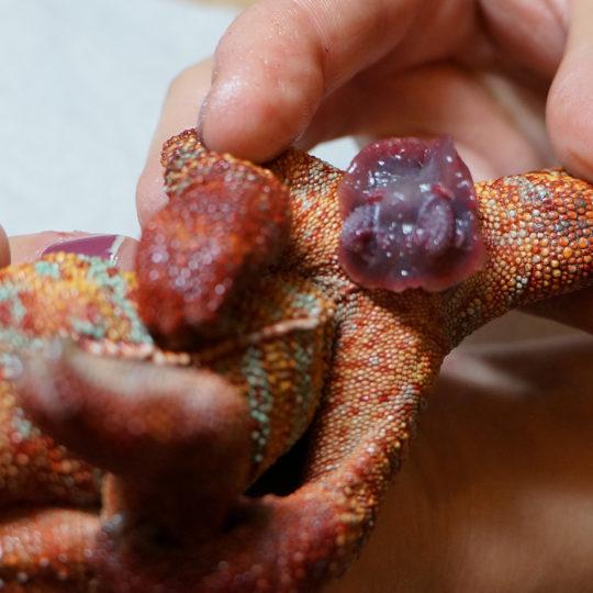 panther chameleon prolapse