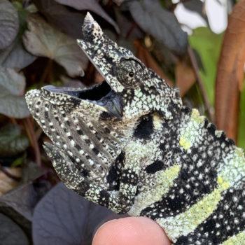 mellers chameleon gular