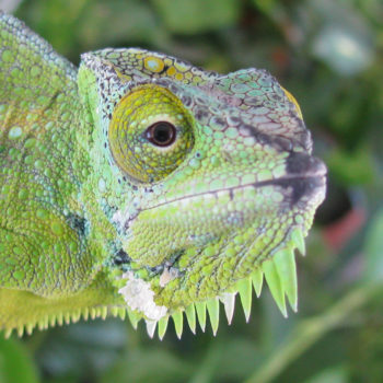 nose rub on quadricornis chameleon