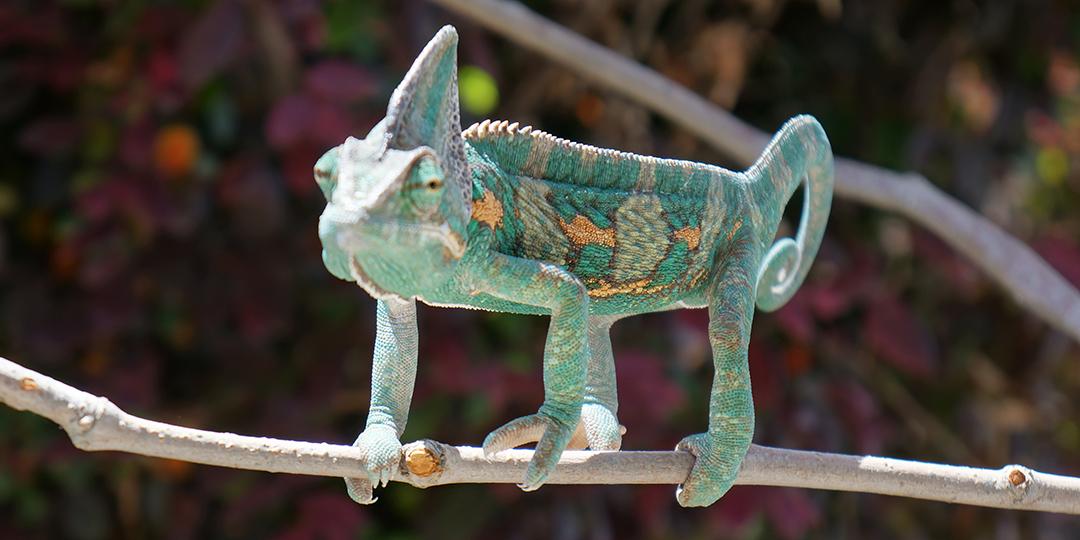 veiled chameleon being skinny