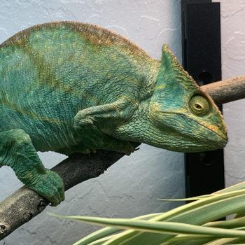 Parson's Chameleon with sunken eyess