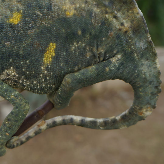 Deremensis chameleon tail with fungal infection