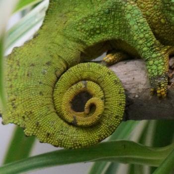 chameleon tail slightly kinked