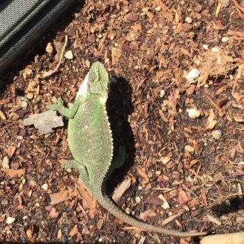 thamnobates chameleon sunning herself