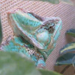 obese veiled chameleon